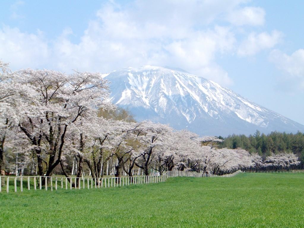 5月県道桜並木