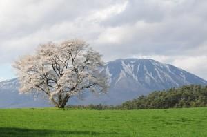 一本桜(雫石PH撮影)